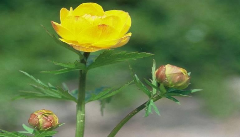 Asiatische Trollblume (Trollius asiaticus) Rennsteiggarten Oberhof