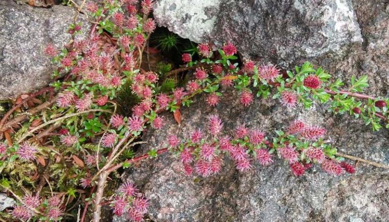 Himalaja-Weide (Salix hylematica) Rennsteiggarten Oberhof