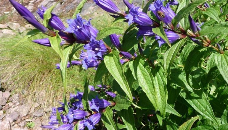 Schwalbenwurz-Enzian (Gentiana asclepiadea) Rennsteiggarten Oberhof