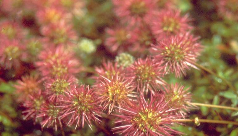 Stachelnüsschen (Acaena microphylla) Rennsteiggarten Oberhof
