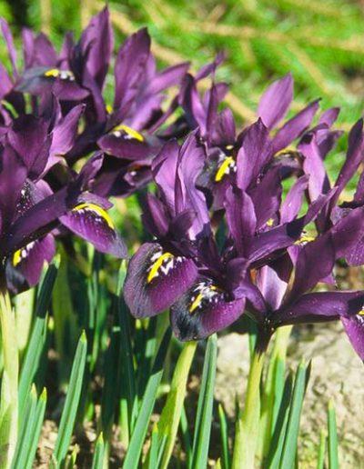 Bluetenkalender April Kleine Netzblatt-Iris (Iris reticulata) Rennsteiggarten Oberhof