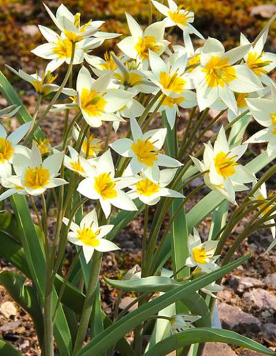Bluetenkalender April Turkestanische Tulpe (Tulipa turkestanica) Rennsteiggarten Oberhof