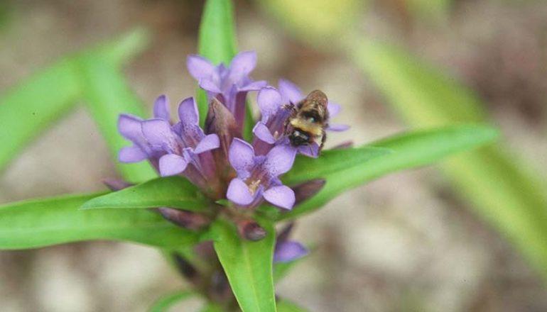 Bluetenkalender August Kreuzenzian (Gentiana cruciata) Rennsteiggarten Oberhof