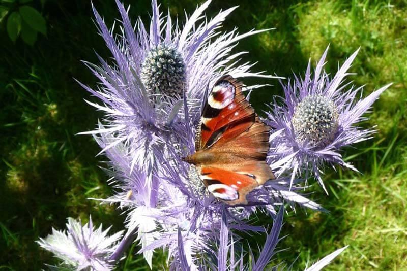 Bluetenkalender Juli Alpen-Mannstreu mit Tagpfauenauge (Eryngium alpinum) Rennsteiggarten Oberhof