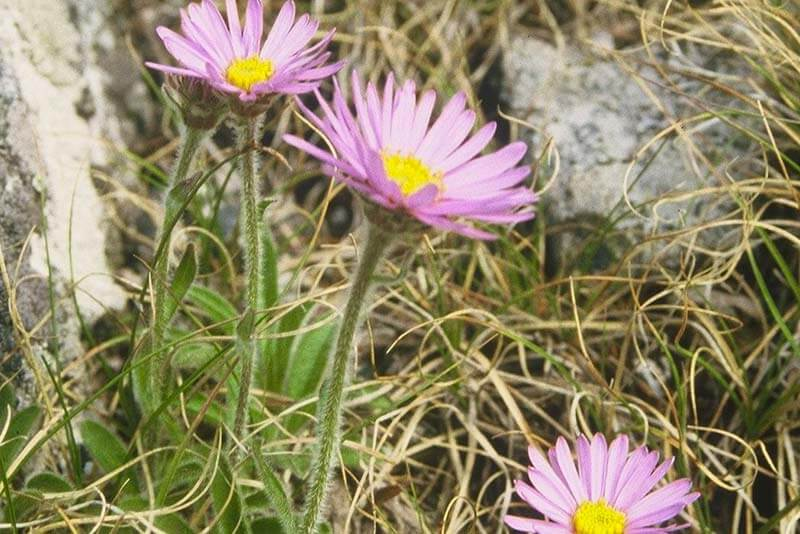 Bluetenkalender Juli Alpen-Aster (Aster alpinus L.) Rennsteiggarten Oberhof