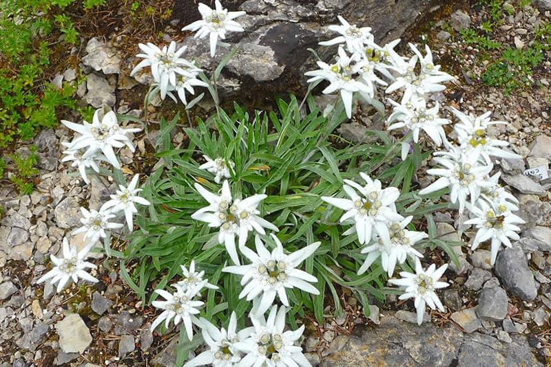 Bluetenkalender Juli Alpen-Edelweiß (Leontopodium alpinum) Rennsteiggarten Oberhof