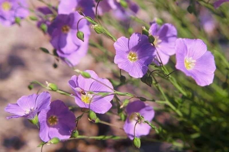 Bluetenkalender Juni Alpen-Lein (Linum alpinum) Rennsteiggarten Oberhof