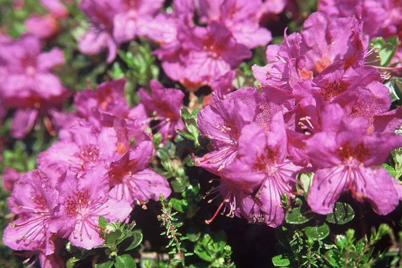 Blütenkalender Mai