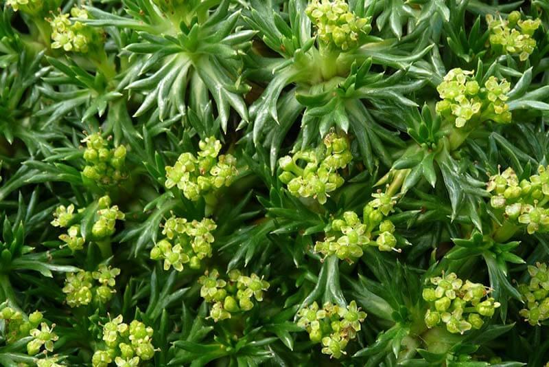 Bluetenkalender Juni Andenpolster (Azorella trifurcata) Rennsteiggarten Oberhof