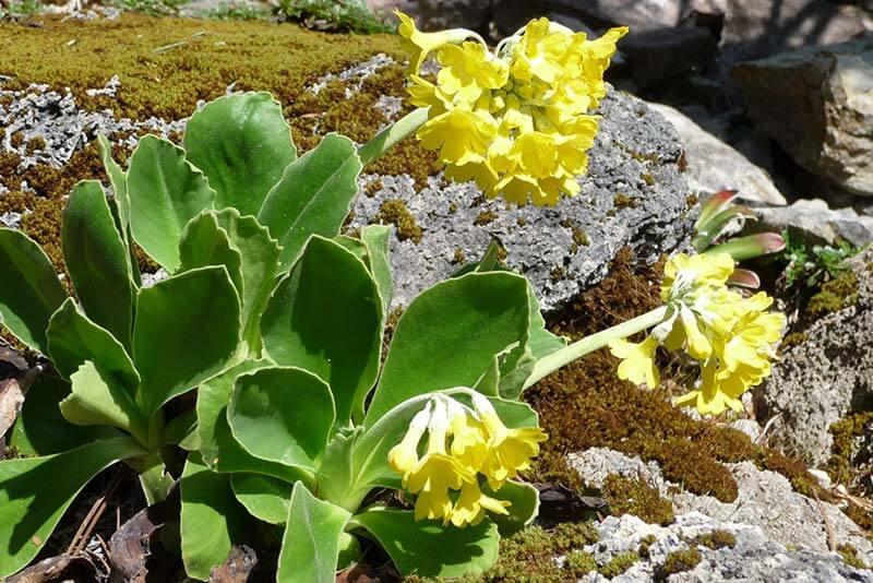 luetenkalender April Alpen-Aurikel (Primula auricula) Rennsteiggarten Oberhof