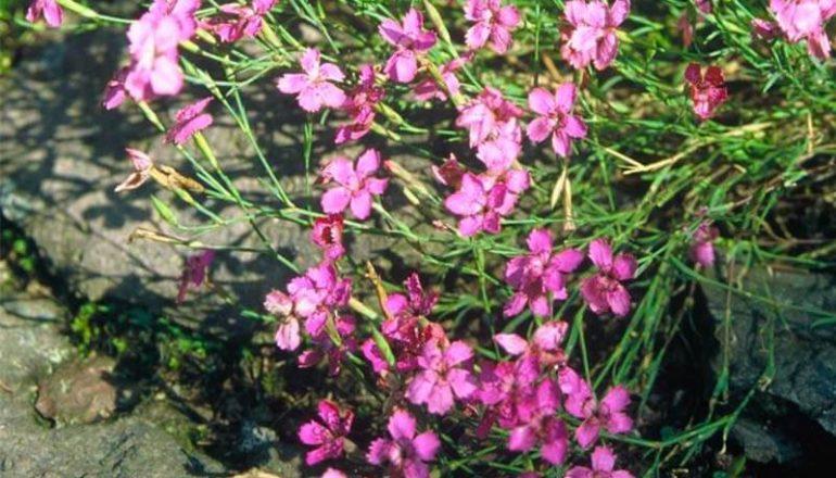 Bluetenkalender August Heidenelke (Dianthus deltoides) Rennsteiggarten Oberhof