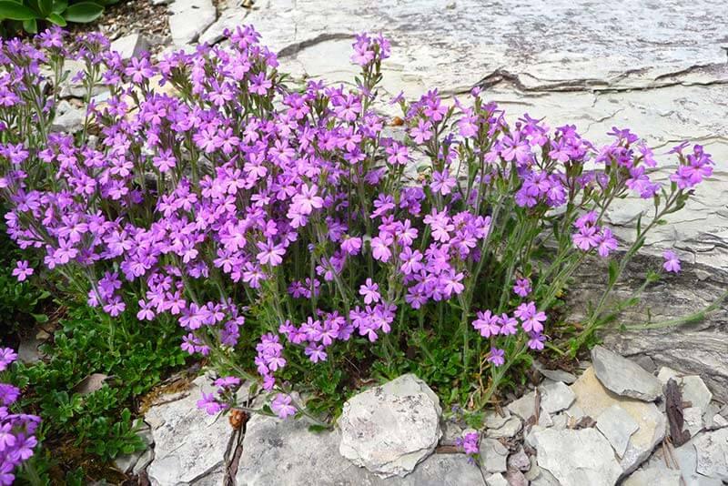 Bluetenkalender Juni Alpenbalsam (Erinus alpinus) Rennsteiggarten Oberhof