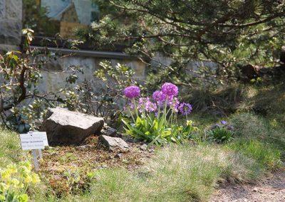 Rennsteiggarten Oberhof - Rundgang - Beginn des Hauptweges - Kugelprimel (Primula denticulata) + Schluesselblume (Primula veris)