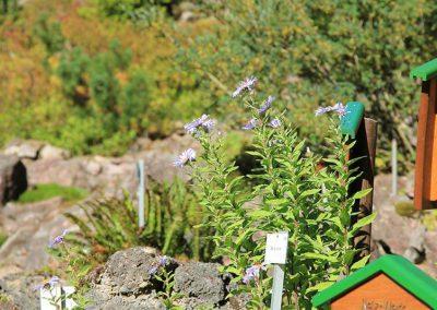 Rennsteiggarten Oberhof - Rundgang - obere Schauanlage mit Bergaster (Aster amellus)