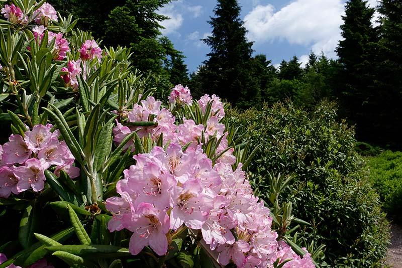Rhododendron Blüte im Rennsteiggarten Oberhof